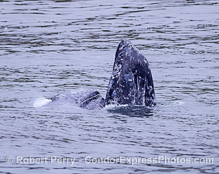 Gray whale calf, on its side, spouting right next to its spy-hopping mother.