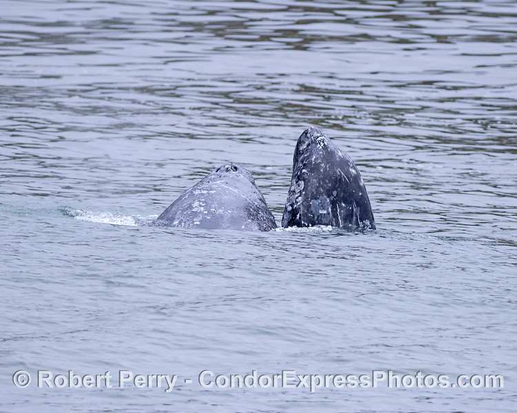 Mother gray whale (right) and her calf.