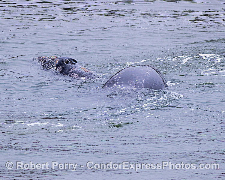 The gray whale calf is seen with its body draped across its mother for security.  [Calves often climb atop mom when under attack by killer whales]