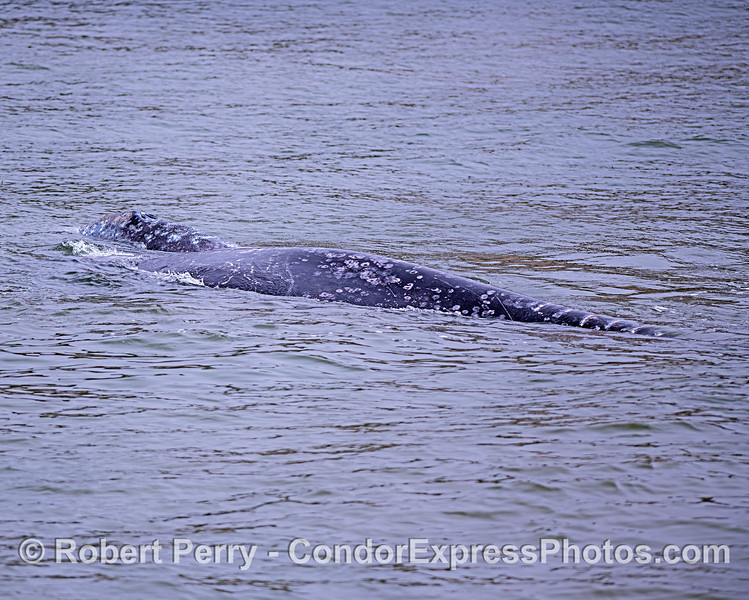 Mother gray whale (foreground) and her calf.
