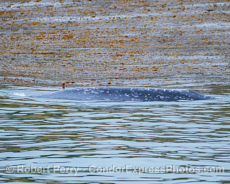 The northbound gray whale migration spends a lot of time on the outer edge of the kelp forest.