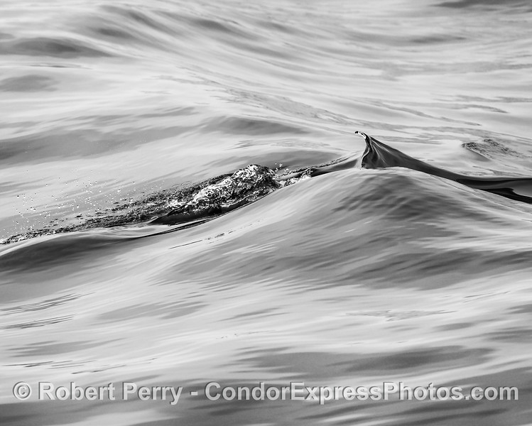 Abstract look at the wake pattern left by a surfing long-beaked common dolphin.   (black and white)