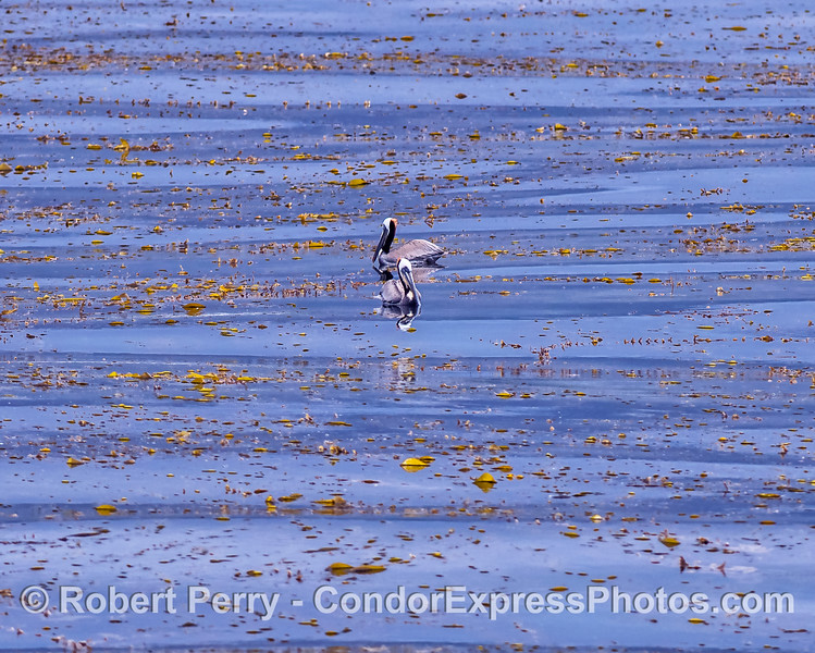 Two brown pelicans in the kelp canopy.
