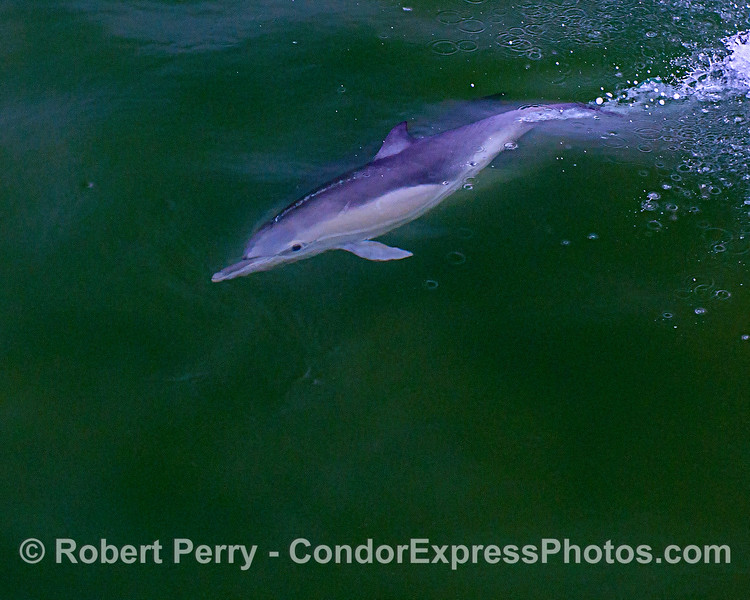 A long-beaked common dolphin