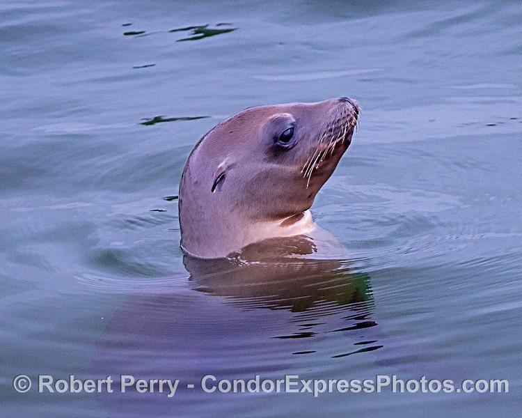 Profile - young California sea lion.