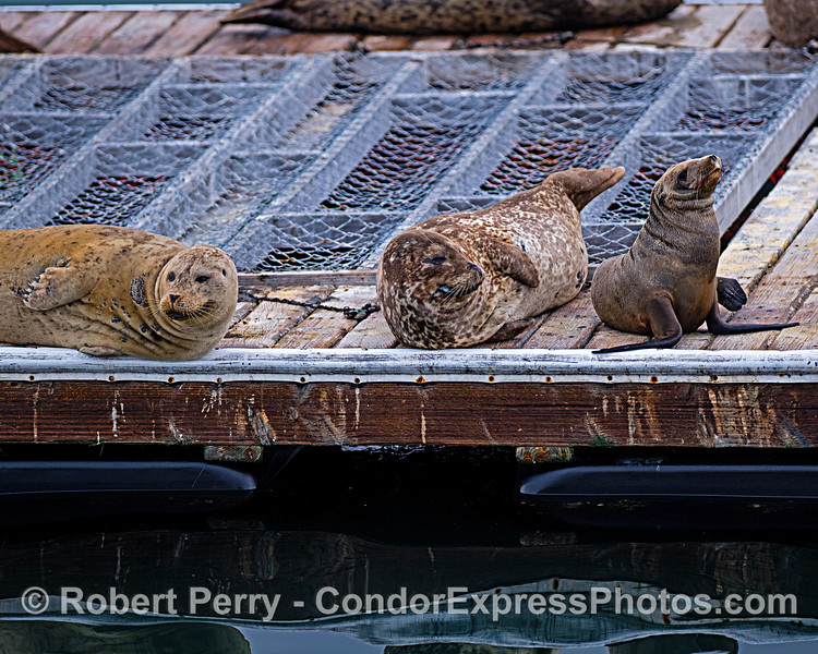 Two Pacific harbor seals (left) and one California sea lion juv (right) hauled out on the Santa Barbara Harbor bait barge.