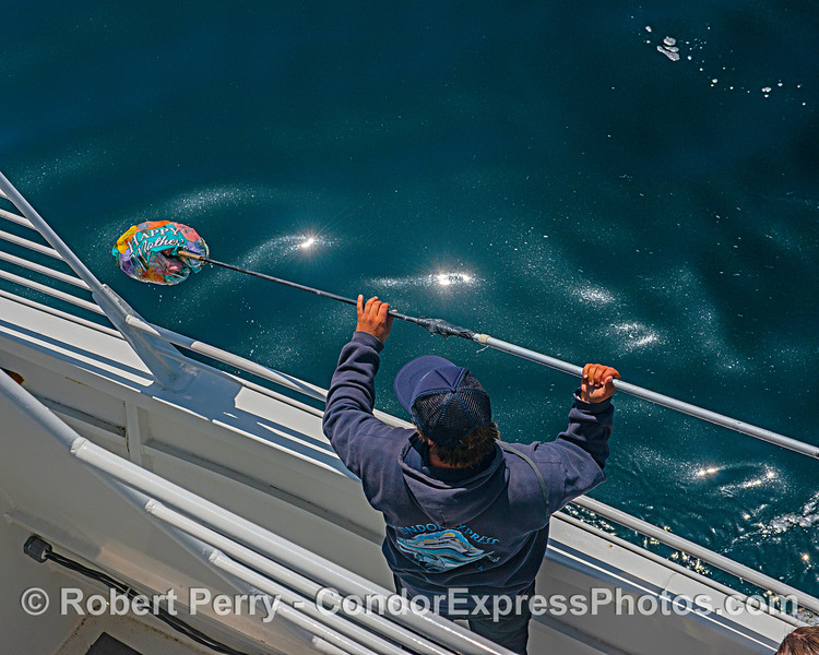 Deck hand Colton puts a gaff on a mylar balloon found drifting offshore where it poses a danger to marine life.
