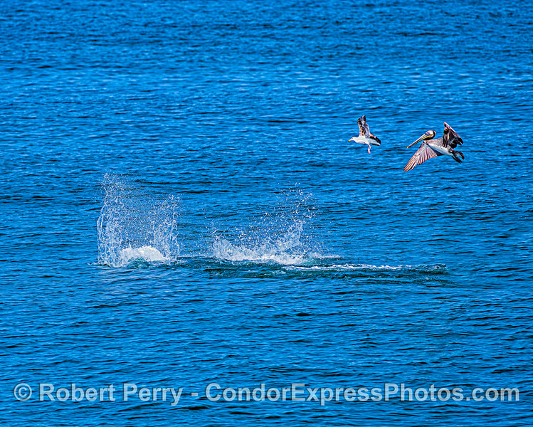 Sea birds feeding along side long-beaked common dolphins - chasing northern anchovies.