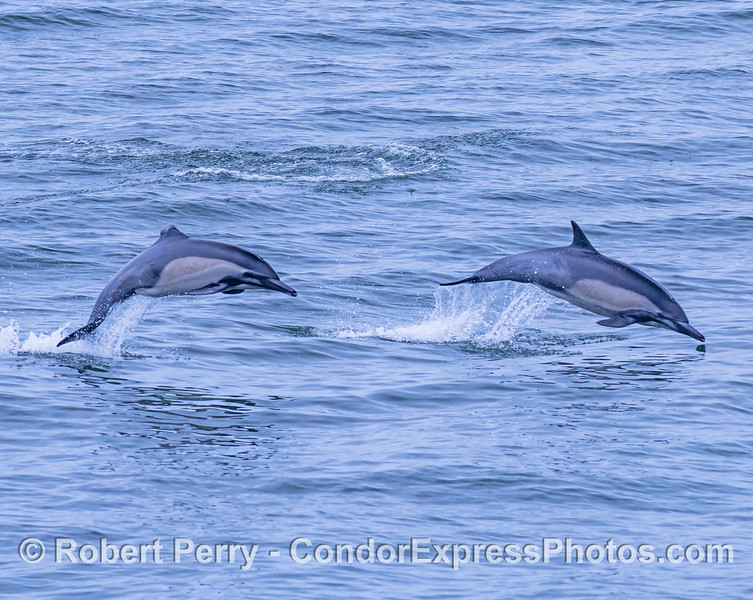 Leaping long-beaked common dolphins...one has a damaged dorsal fin