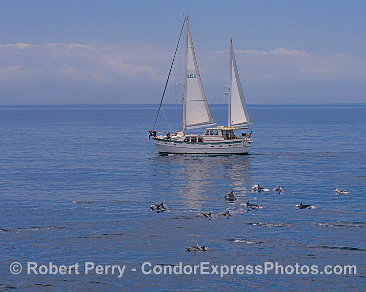 Long-beaked common dolphins on the way to ride along with sailboat