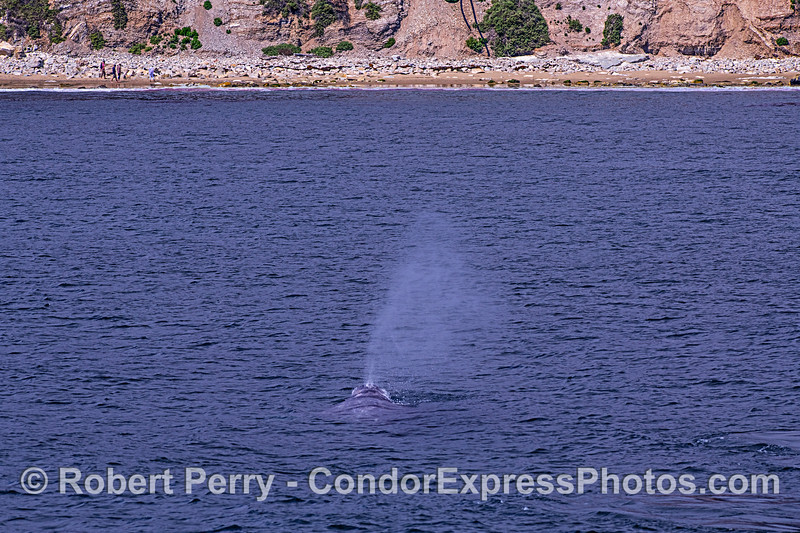 Gray whale heads for the beach