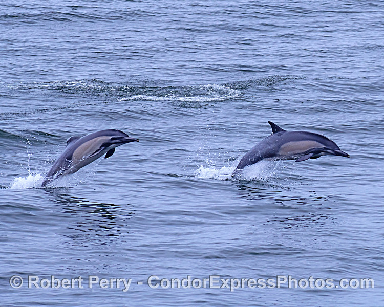 Leaping long-beaked common dolphins...one has a damaged dorsal fin.