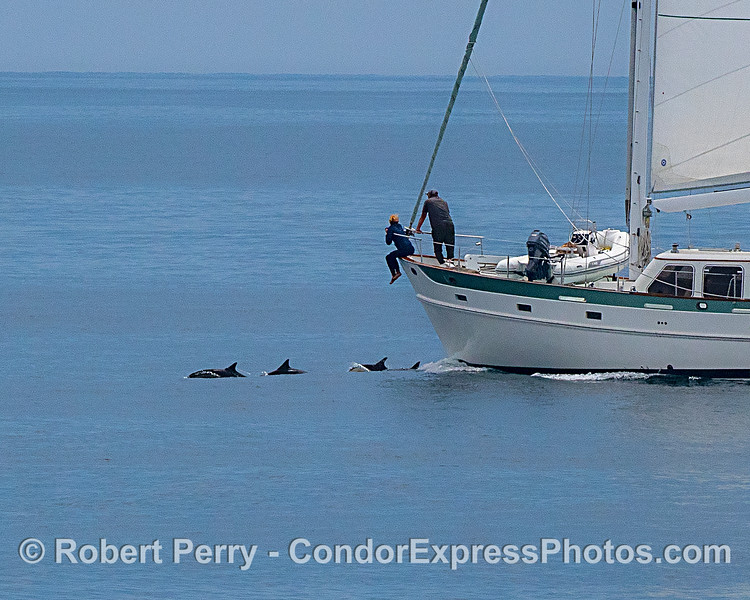 Sailboat people enjoy bow-riding dolphins