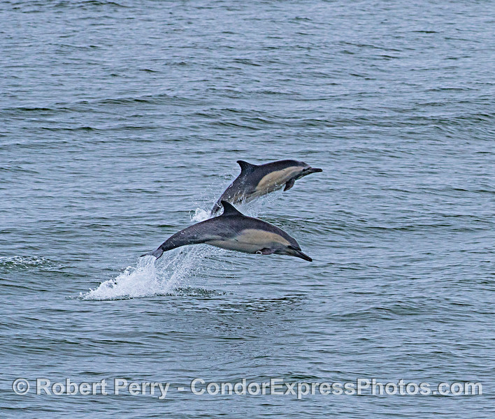 Leaping long-beaked common dolphins