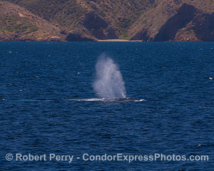 Giant blue whale - Santa Cruz Island in back