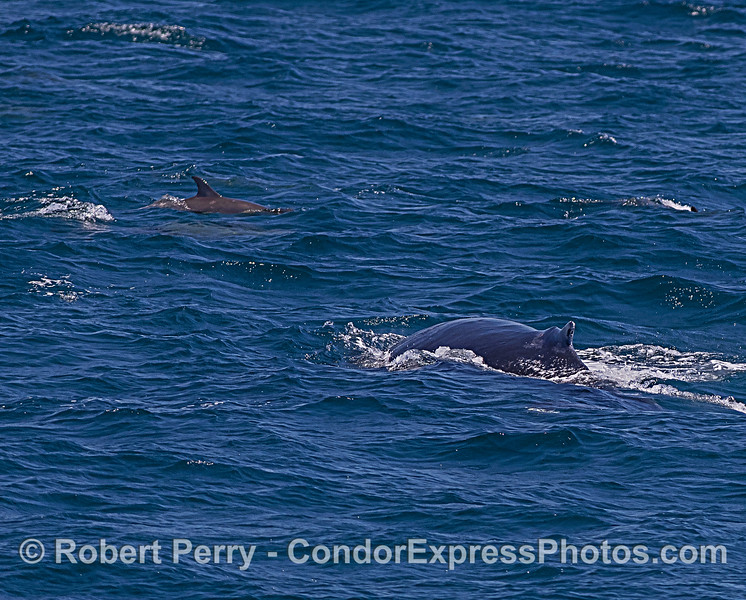 Humpback whale and long-beaked common dolphin