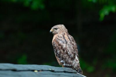 2018-05-29 Red Tail Hawk