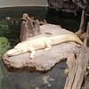 SAN FRANCISCO SCIENCE MUSEUM; RARE WHITE ALLIGATOR. ALTHOUGH I PREFER MY ALLIGATOR WELL DONE!