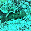 RED HIND GROUPER