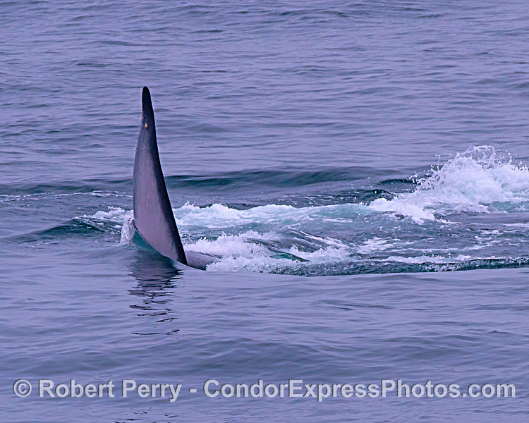 Shark?  No. It is one half of a giant blue whale tail due to the beast being on its side.