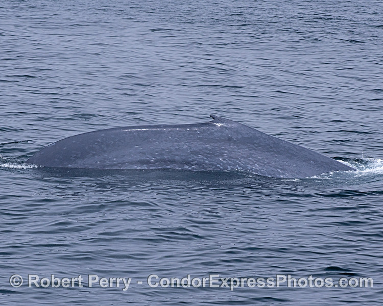 The right flanks with unique dorsal fin of a blue whale.