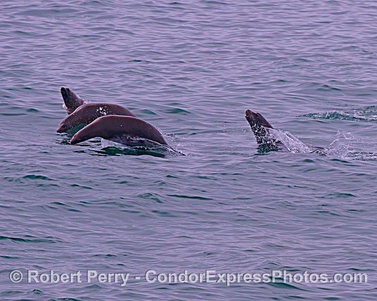 Leaping California sea lions.