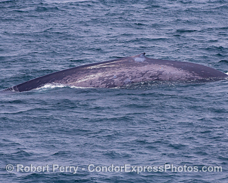 Blue whale's left flanks and dorsal fin.  An ID shot.
