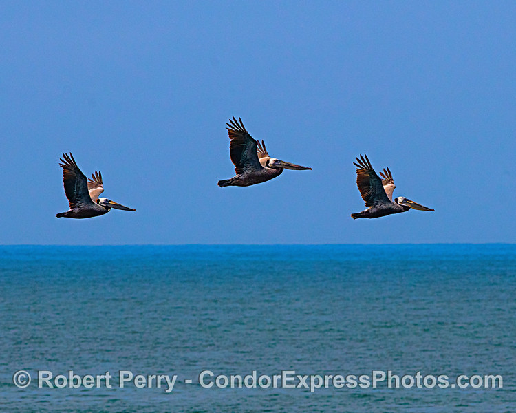 A trio of brown pelicans flying in the sunshine.