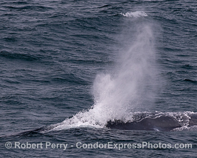 Blue whale spout spray with wind and seas.