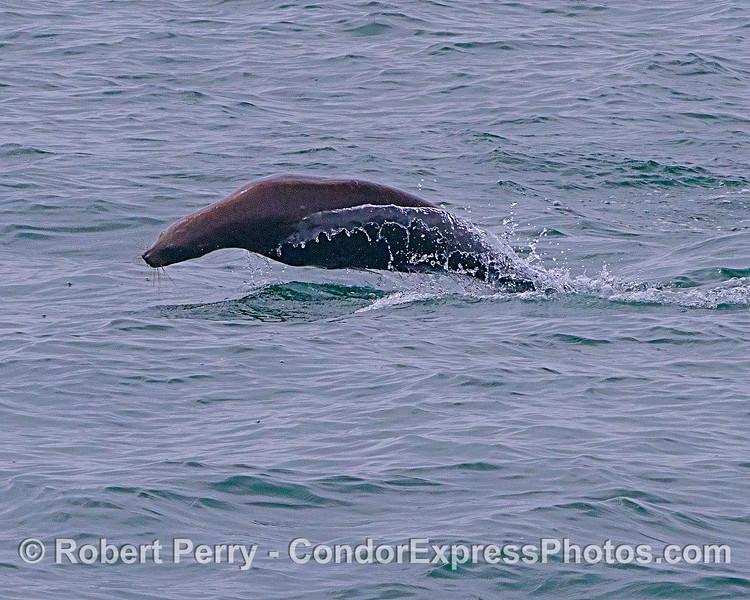 Leaping California sea lion.