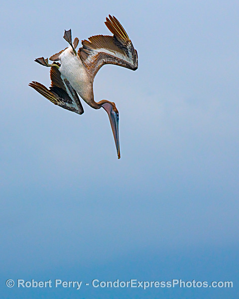 Mid-air capture - feeding plunge - brown pelican.