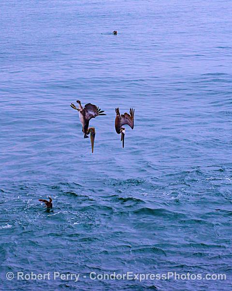 Crash-diving pelicans.