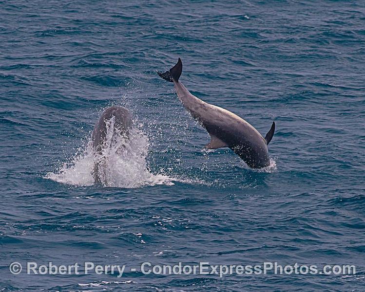 Offshore bottlenose dolphins - socializing.