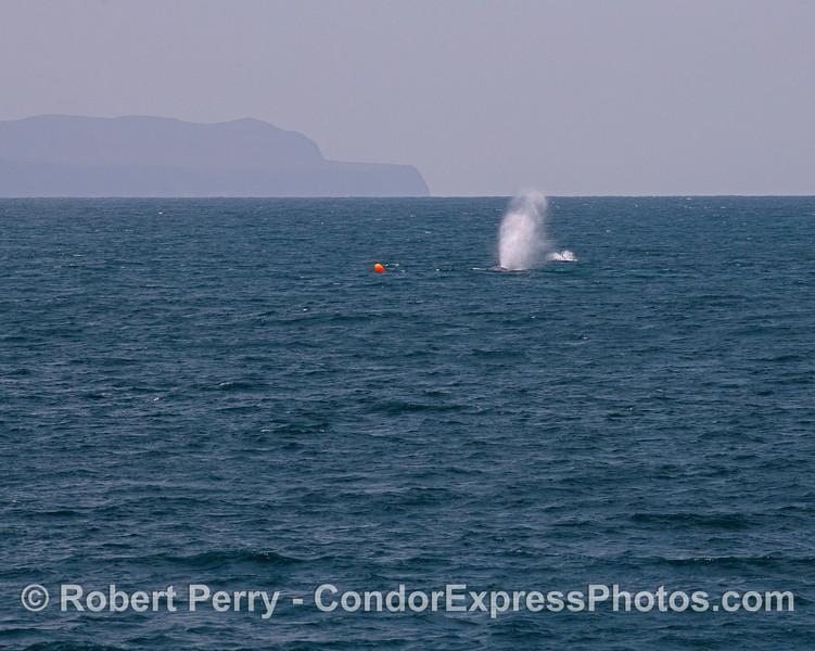 Two blue whales near an orange polyball marker (spot prawn trap)