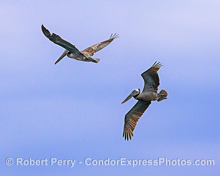 Brown pelicans in flight.