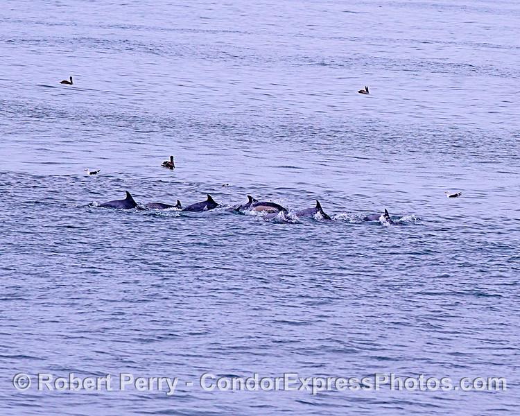 Long-beaked common dolphins feeding.