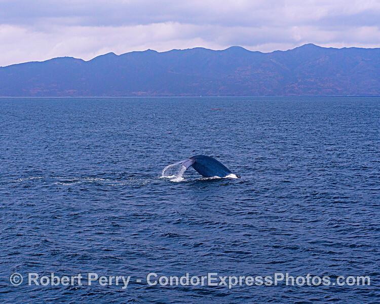 Blue whale tail at Santa Cruz Island.