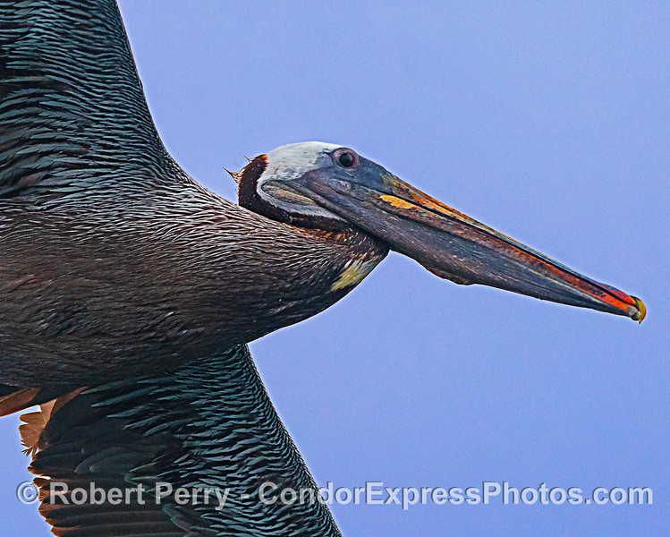 Fly-by close up - brown pelican.