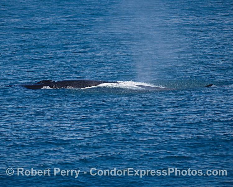 Spout spray rain squall - fin whale.
