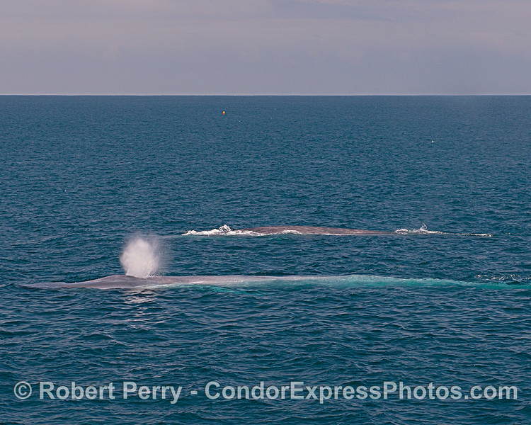 Dozens of blue whales flooded the zone today.  Here are two of them swimming side-by-side