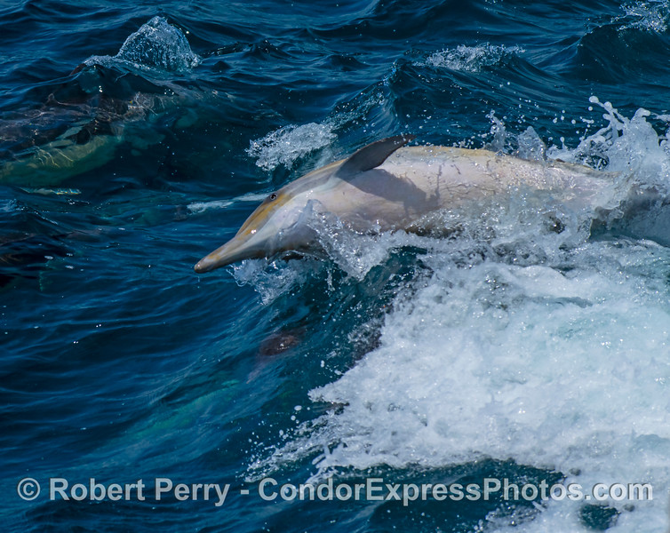A long-beaked common dolphin gets agro among the smaller wave-riders.