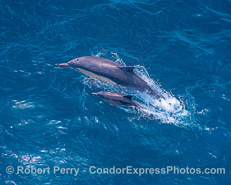 Looking down on a mother dolphin and her calf.