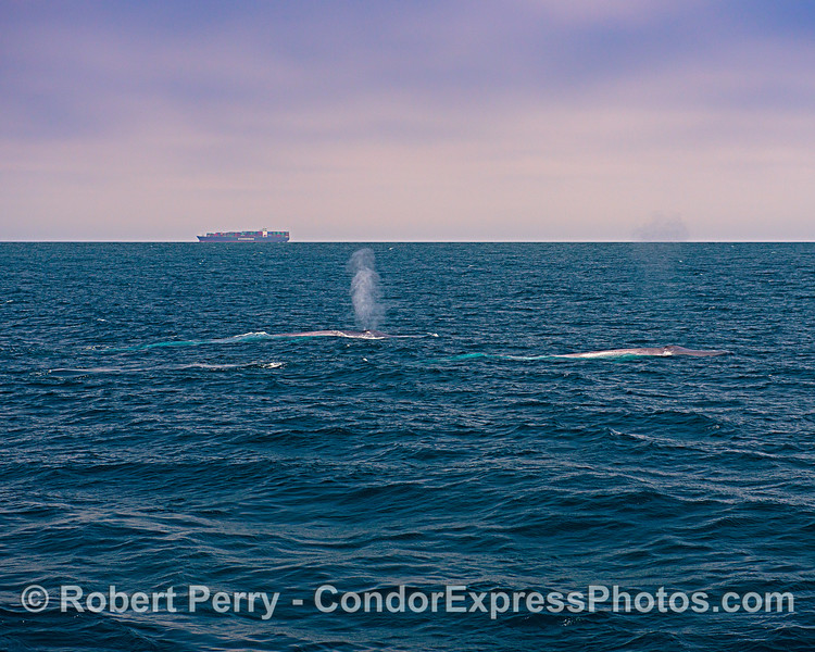 Two Blue whales and a container cargo ship.