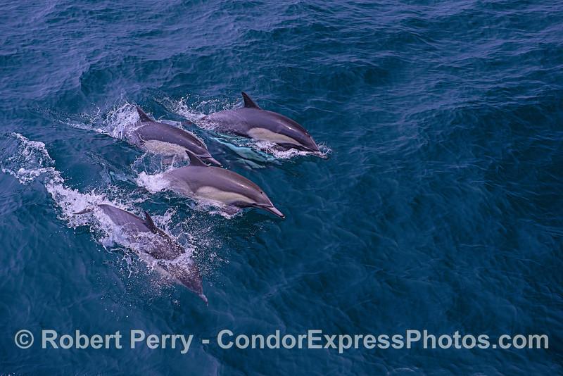 Delphinus capensis 2018 07-18 SB Channel East-b-001