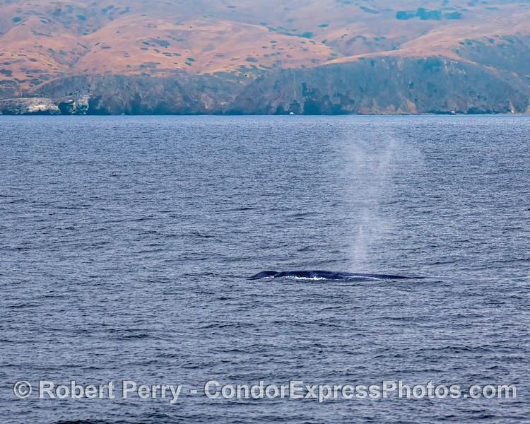 A giant is seen spouting near the northern sea cliffs of Santa Cruz Island.
