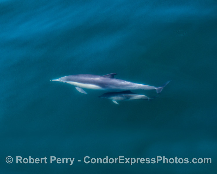 Long-beaked common dolphin mother and calf.