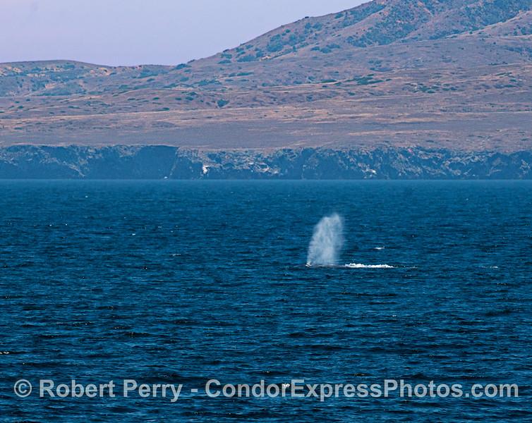 Blue whale at Santa Cruz Island.