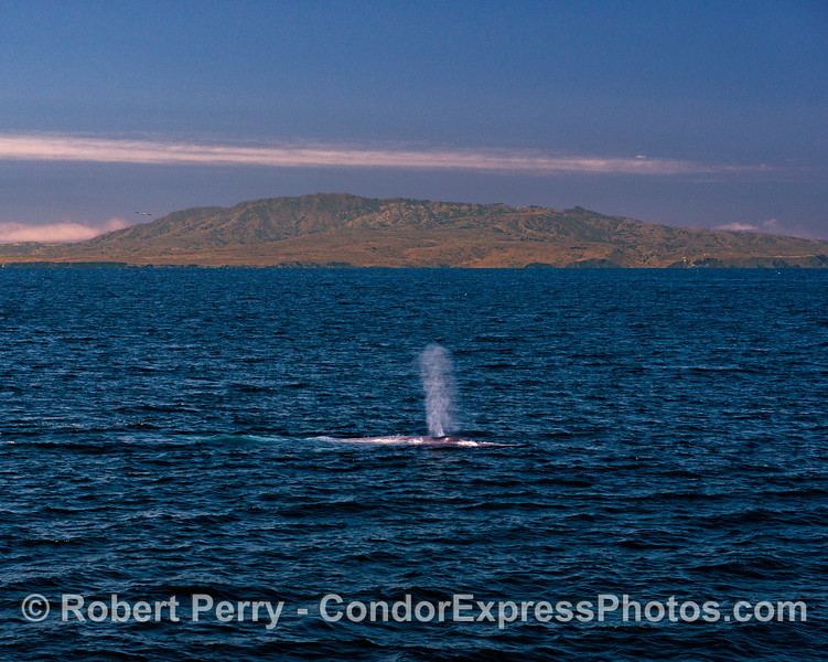 Western end of Santa Cruz Island and a blue whale spout.