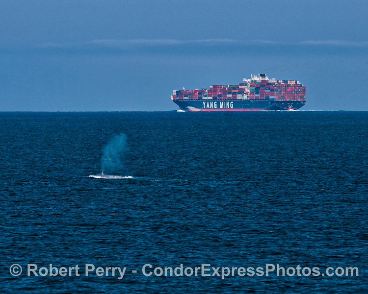 Giant blue whale is seen in the southbound commercial shipping lane in the Santa Barbara Channel.  The container ship, YM Unicorn, is a mile away in the northbound lane.