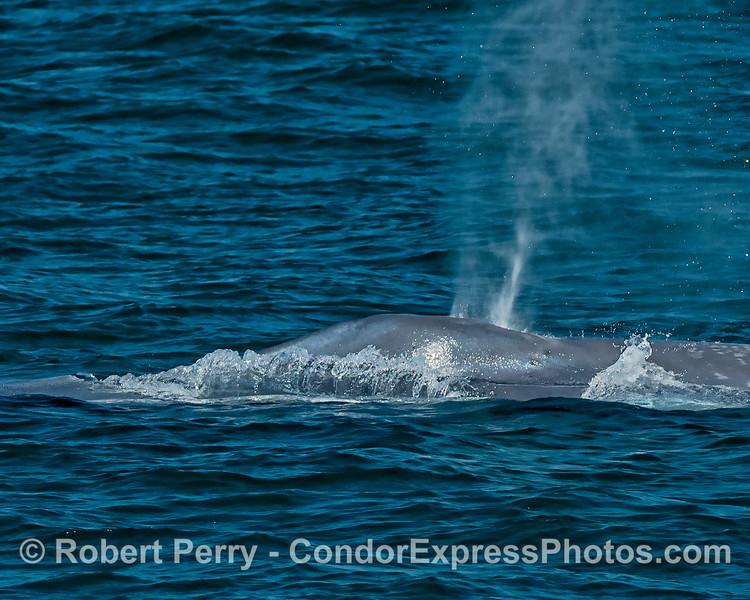 Water splash creates a unique pattern along the spout splash guard of a giant blue whale.